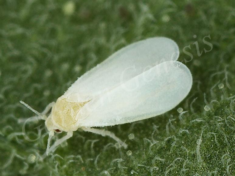 Αλευρώδης (Aleyrodidae)