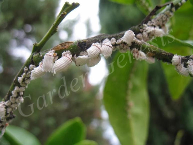 Βαμβακίαση εσπεριδοειδών (Margarodidae)