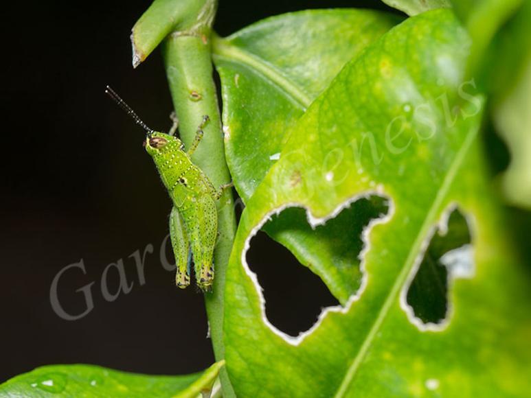 Ακρίδα (Acrididae)