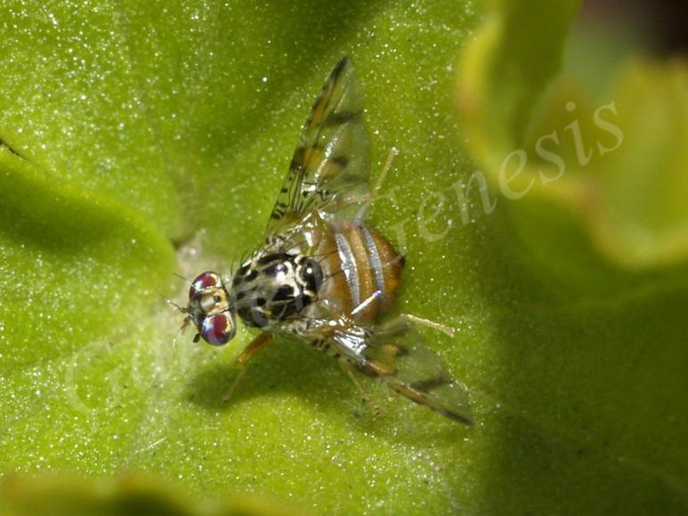 Μύγα Μεσογείου (Tephritidae)