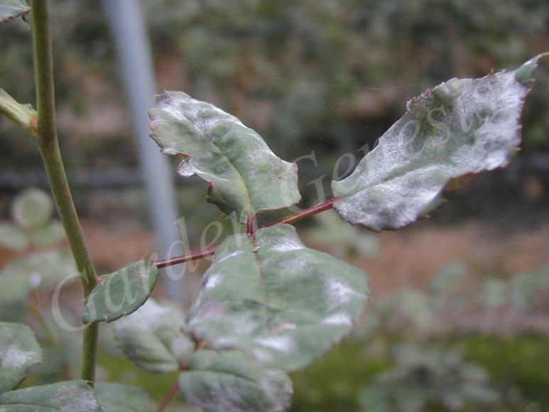 Ωίδιο (Erysiphaceae)