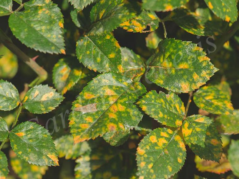 Σκωρίαση (Phragmidiaceae)