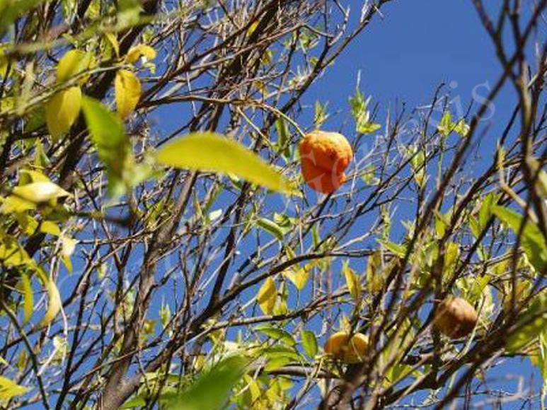 Κορυφοξήρα (Pleosporaceae)